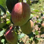Apfelbaum - Obstgarten Finca la Castana