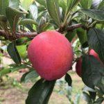 Rote Plaume - Obstgarten Teneriffa - Finca la Castana