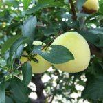 Gelbe Plaume - Obstgarten Teneriffa - Finca la Castana