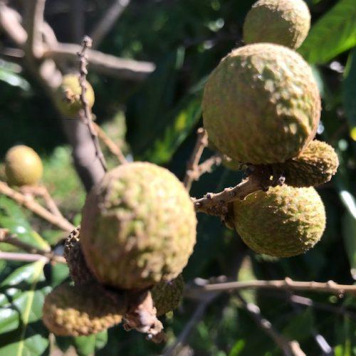 Longanfrucht - Finca la Castana