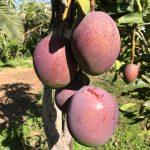 Mango - Finca la- Castana